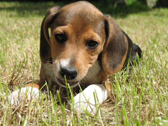 Fotos de perros Beagle Harrier