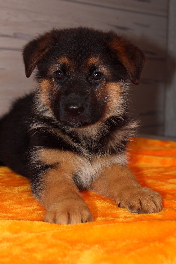 Buster puppy German Shepherd in Nappanee, Indiana for