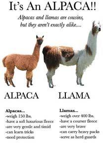 Alpacas Farm Ranch Somis CA Ventura County Suri Huacaya Alpacas ...