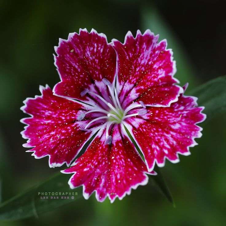 """500px / Photo """"Dianthus chinensis --패랭이꽃"""" by Daehee LEE"""