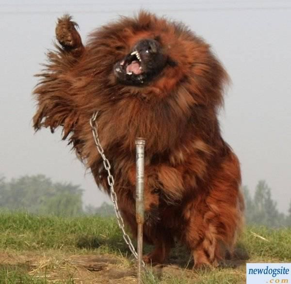 Tibetan Mastiff is the World's Most Expensive Dog, Sold for $1.5 Million in China (5) look at those chains