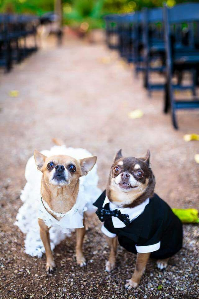 Chihuahua Wedding