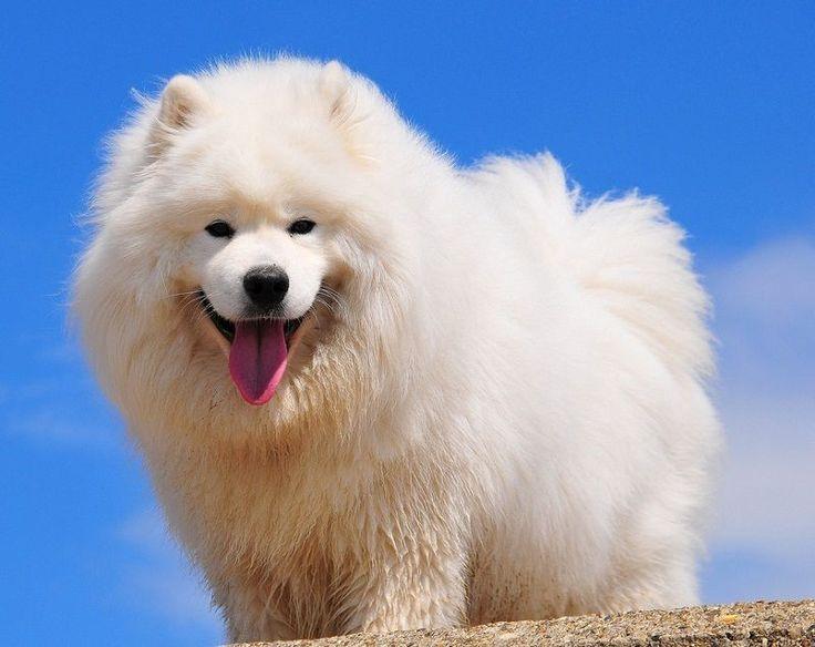 Самоедская собака (самоед) – это старинная порода служебных собак, сохранившая свою историческую характеристику. Порода не поддавалась смешиванию с другими породами.