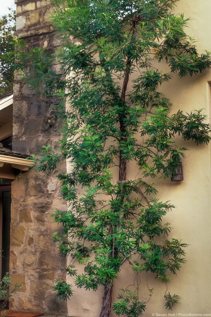 best 25 ironwood tree ideas on pinterest contemporary garden