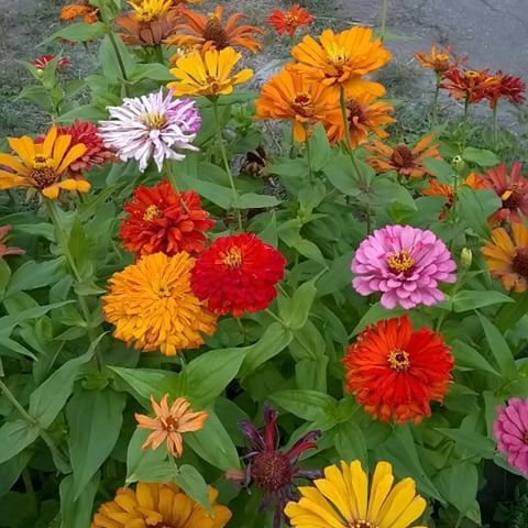 #майорці #цинния #cinnia #flowers 💐 #summer #nature #beauty #paradise #maTusy #Dnepr #Ukraine