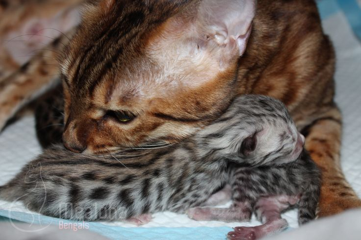 Bengal kitten just a day old