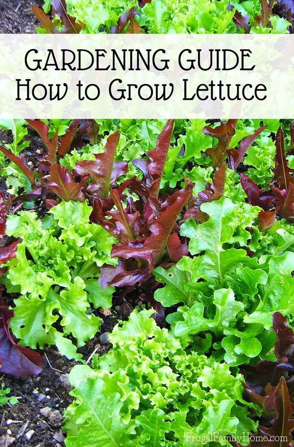 how to grow lettuce from seed indoors