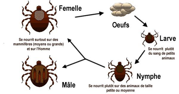 Image-Life_cycle_of_ticks_family_ixodidaeFr