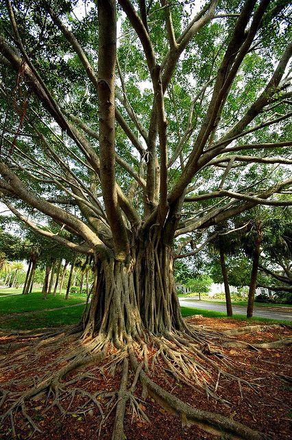 Banyan Tree Venice Fl Interesting Trees Pinterest