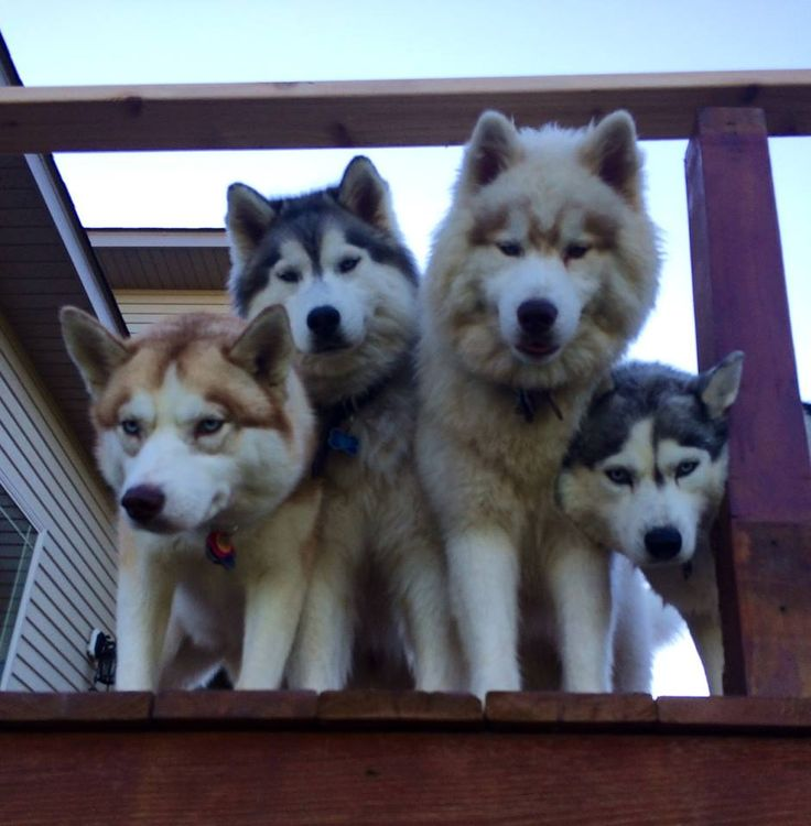 Sibes (f: Amy Junes) #husky #dog