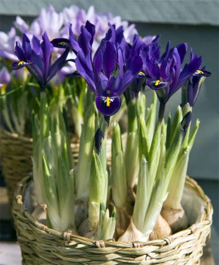 Iris reticulata Pixie - Flower Bulb Index
