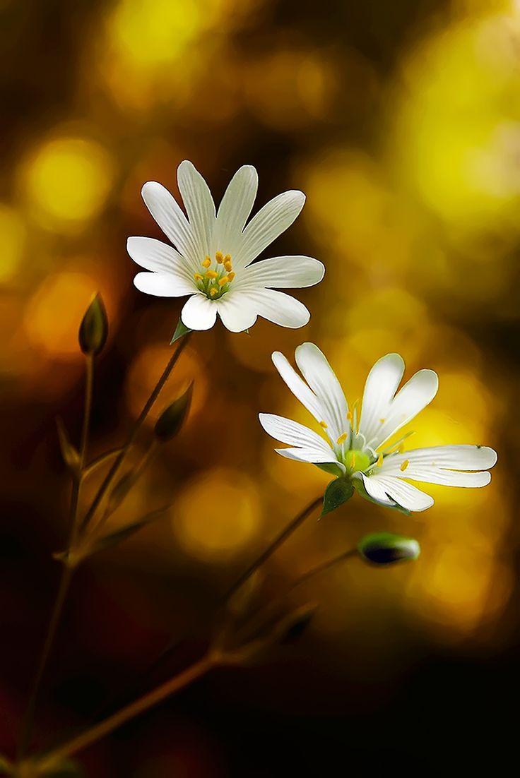 Pure white flowers #bokeh
