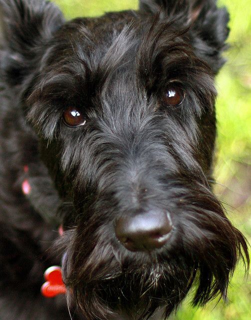 Look at those eyes.....Scotties have so much soul..........such tender little hearts.