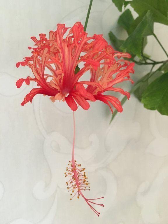 Hibiscus Schizopetalus rotad hibiskus fjäderhibiskus