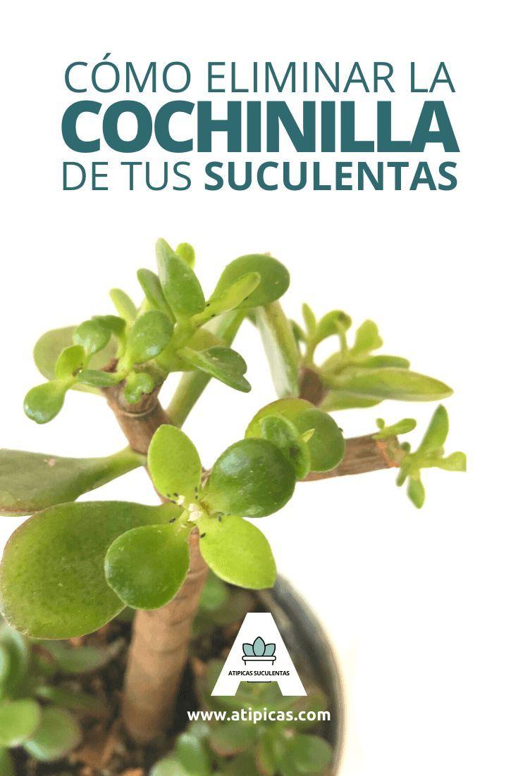 Cómo Eliminar La Cochinilla Algodonosa De Tus Suculentas Pulgones En Las Plantas Plagas En Las Plantas Cuidado De Suculentas