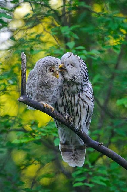 Mother and baby owlet