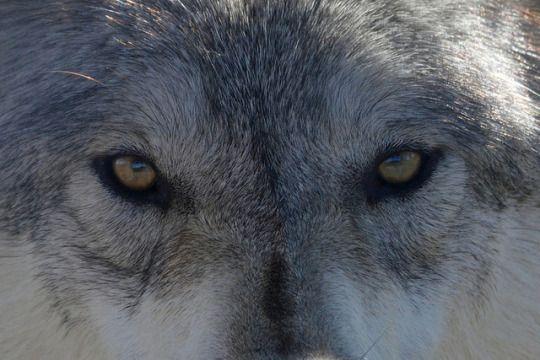 глаза волка у человека фото квартира имела