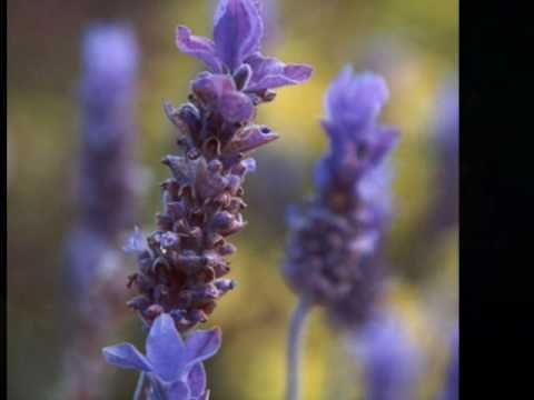 """ Ladies in Lavender "" - Joshua Bell - if you have never heard this piece do yourself a favour, it is simply wonderful, press play......close your eyes and drift into all things purple and lavender......."