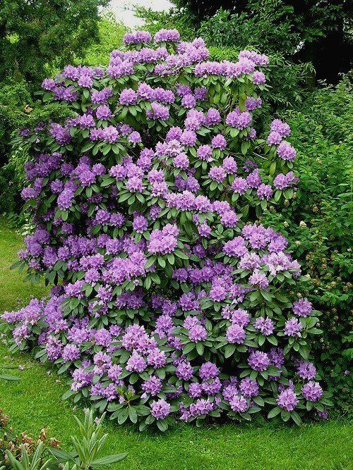 """I love rhododendrons, and have two in this beautiful shade of purple; however, they tend to get overgrown and """"bushy."""" So, I trimmed out the entire bottom of mine, making the bush into a tree. I then planted some shade-loving plants beneath it. Everyone keeps asking me where I got those """"trees!"""" ;)"""