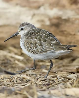 Curlew Sandpiper (Calidris ferruginea) is a small wader that breeds on the tundra of Arctic Siberia. It is strongly migratory, wintering mainly in Africa, but also in south and southeast Asia and in Australasia. It is a vagrant to North America.