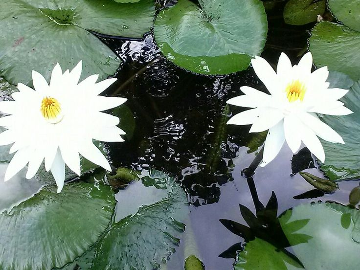 Waterlily season, Centenary Lakes, Cairns