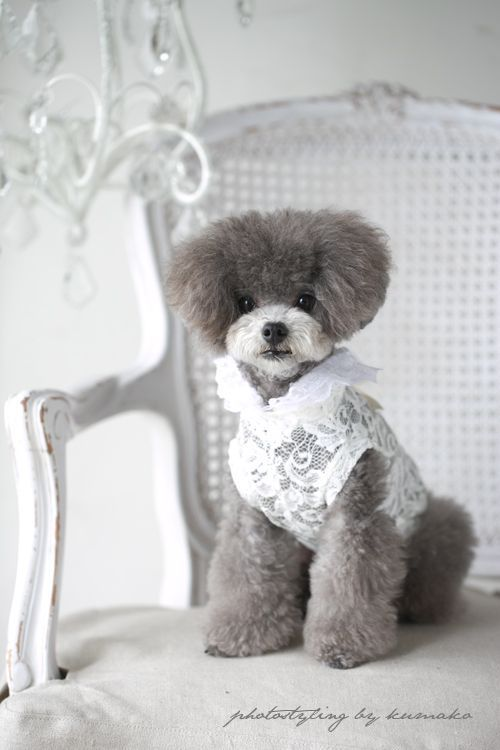 I soooo want this poodle to be my yorki poo's gf!!! ♥♥♥