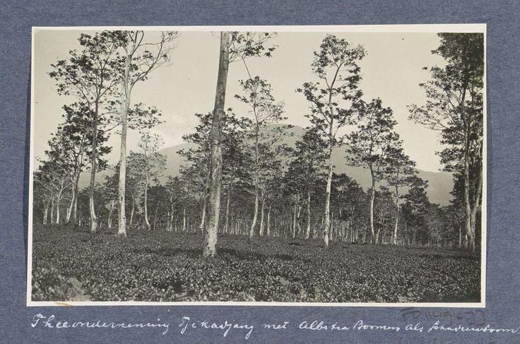 Anonymous | Velden met schaduwbomen van thee-onderneming Tjikadjang bij Garvet in Preanger, Anonymous, c. 1900 - c. 1920 | Onderdeel van Reisalbum met foto's van bedrijvigheid en bezienswaardigheden op Sumatra en Java en van de reis naar en van Nederlands-Indië.