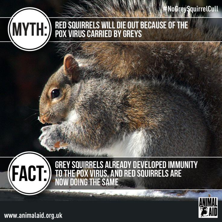 Grey squirrel myth vs fact Animals, Squirrel, Red squirrel