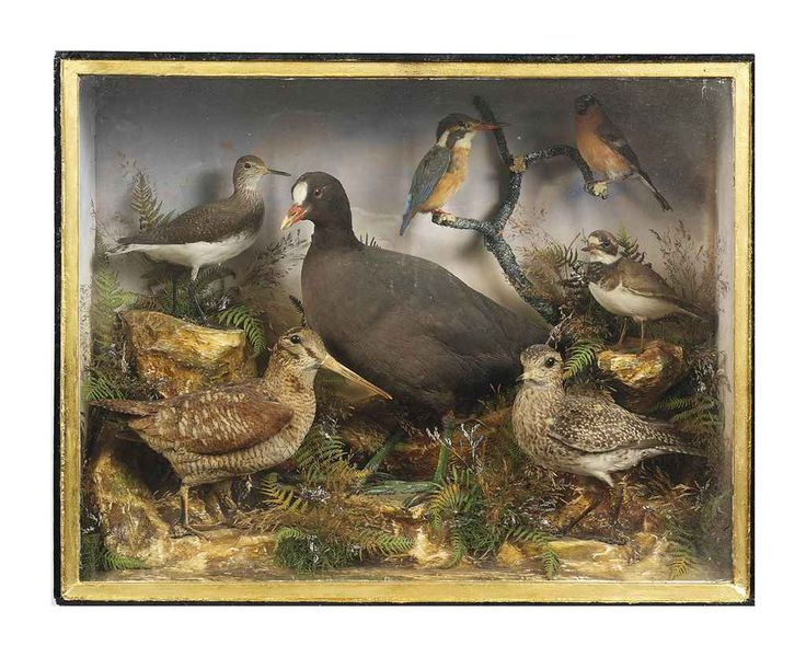 A VICTORIAN CASED TAXIDERMY DISPLAY LATE 19TH CENTURY Comprising various British birds including: a kingfisher, a bull-finch, a snipe, a moorhen and others