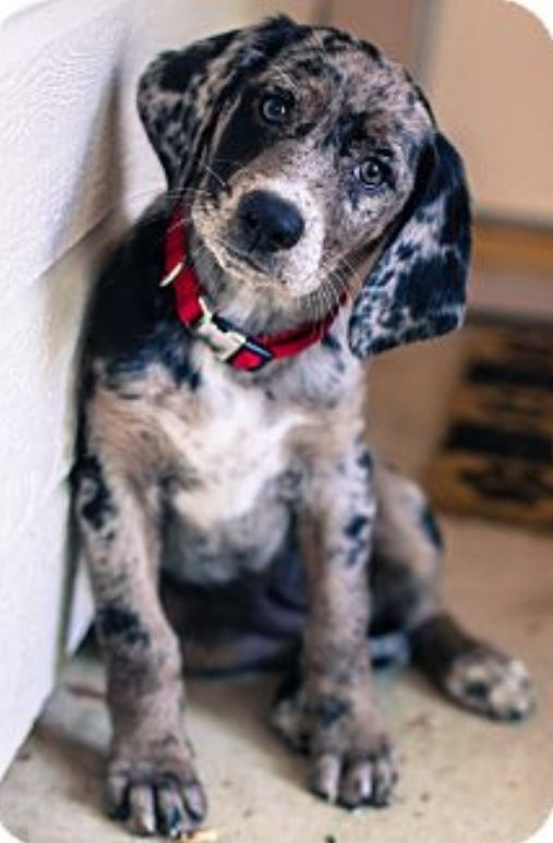 Bluetick coonhound lab mix...dear God I'm in love with this face