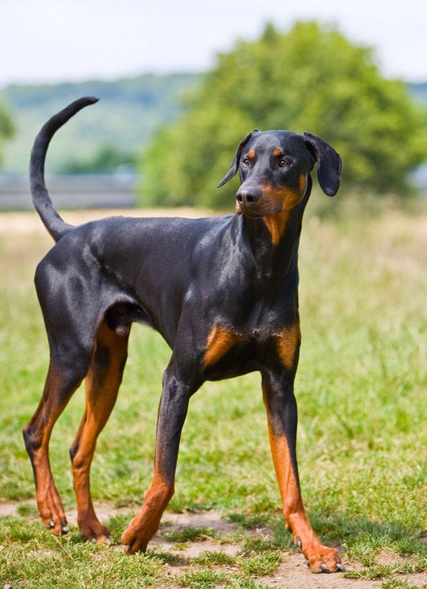 If I ever got a Doberman I would leave his tail and ears uncropped... more adorable that way. :)