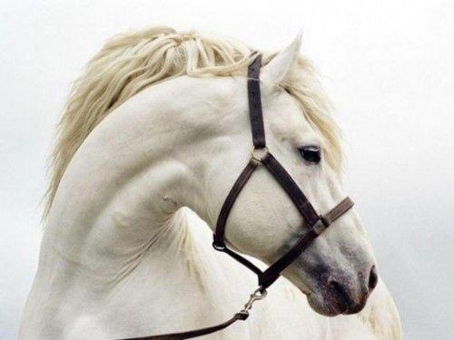 Beautiful Horses, Dreams, Ponies, Art, Grey Hors, White Horses, Beautiful Creatures, Snow White, Animal