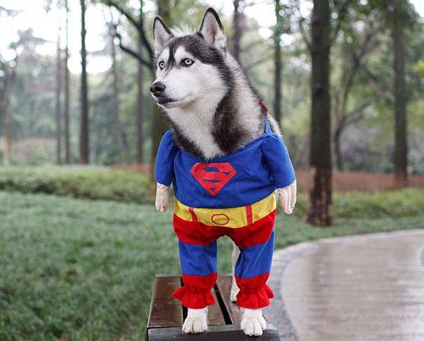deguisements halloween pour animaux super husky 1   Déguisements Halloween pour animaux   tortue Starwars python photo oie Miley Cyrus lézar...