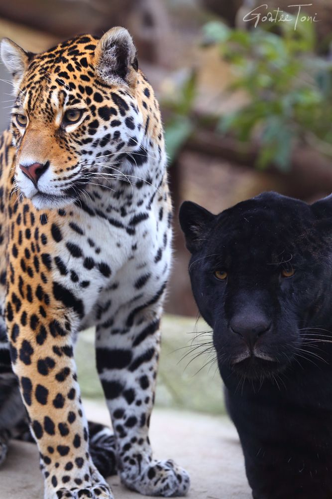 Spotted Jaguar And Black Jaguar Cute Baby Animals Animals Animals Beautiful