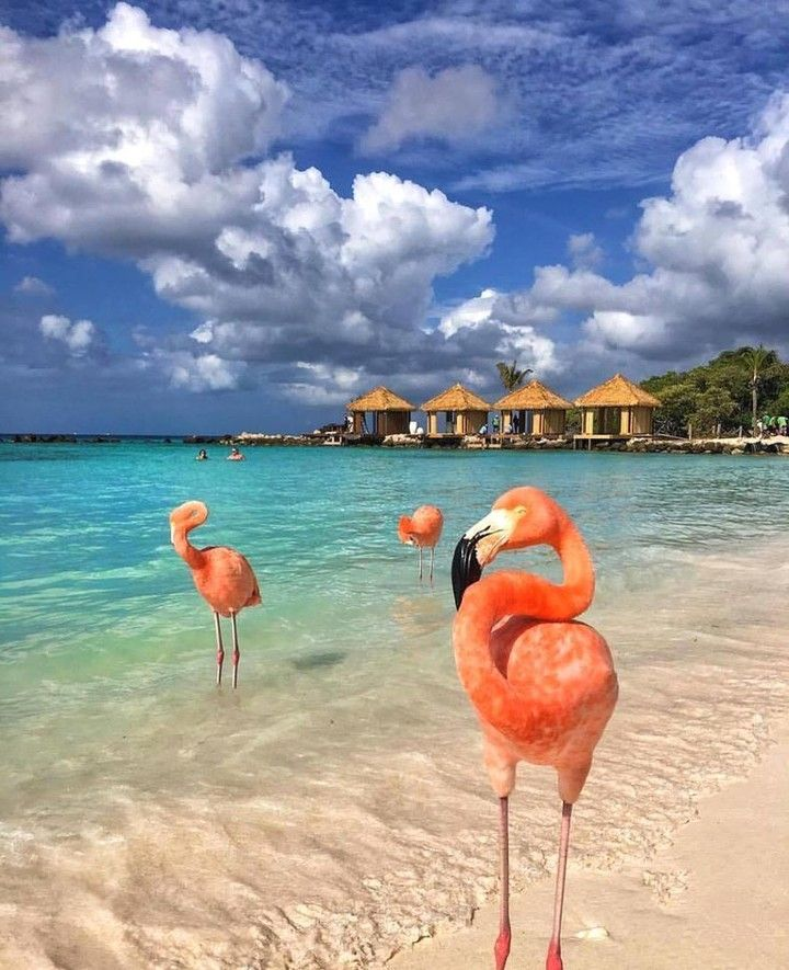 Because It Is Friday :) Enjoy these Flamingos in Aruba taken by @cbezerraphotos  #photo #photos #pic #pics #picture #pictures #snapshot #art #beautiful #instagood #picoftheday #photooftheday #color #all_shots #exposure #composition #focus #capture #moment #bouncymedia  @bouncy.social.media.marketing