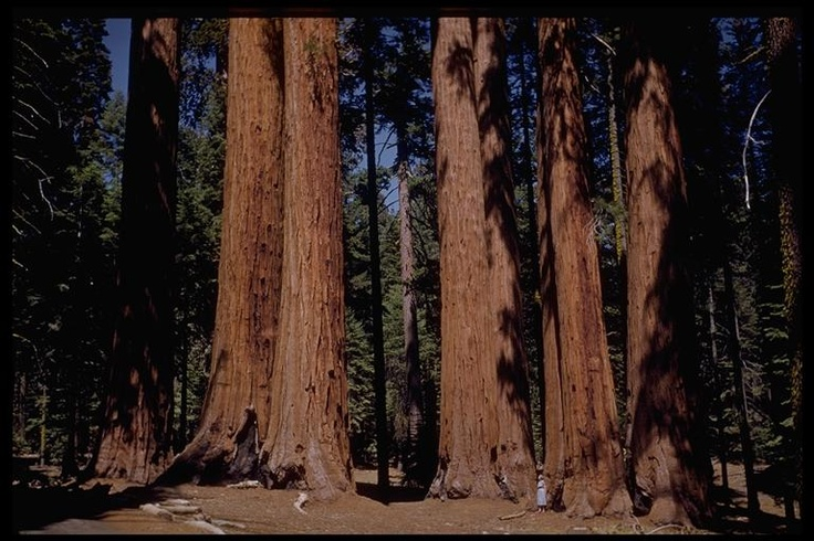 Giant Sequoias-Love! Notice the little woman slightly to the right.: Giant Sequoiaslov