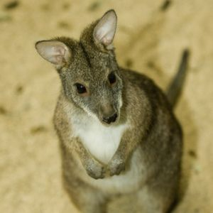Chicago Zoo - Wallaby