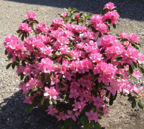 Azalea - Azalea - Piante da Giardino - Caratteristiche azalea - coltivare azalea