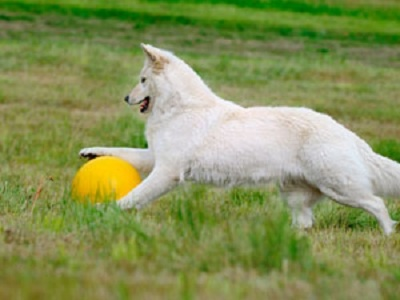 """Why Not Try Treibball? The sport gets its name from the German words """"treiben"""", meaning to push or drive, and """"Ball,"""" which means, of course, ball. Designed to provide practice in human and canine teamwork while inspiring herding instincts, it's perfect for any energetic dog that needs a job."""