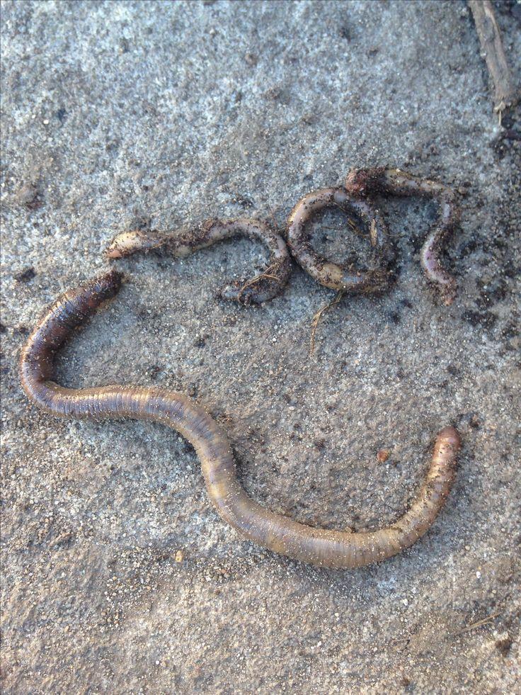 One massive worm!