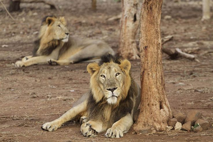 Endangered Asiatic lions rest at the Gir Lion Sanctuary at Sasan in the Junagadh District of Gujarat, India