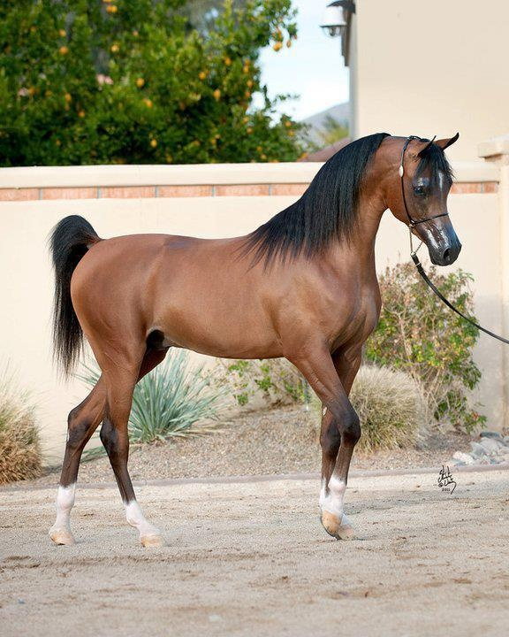 I think Arabians are the most gorgeous horse and I love riding.