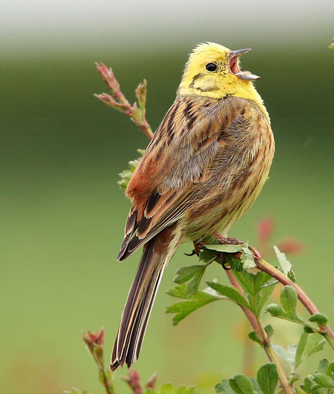 Wilde About Birds The Yellowhammer and the Missing Wellie