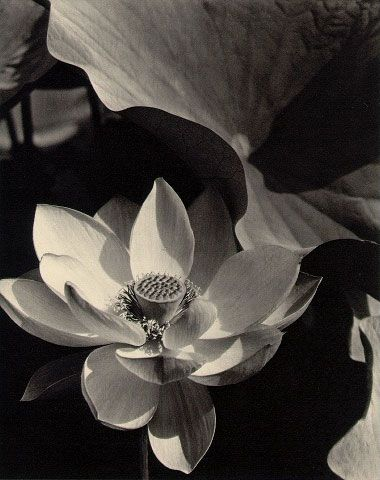 Edward Steichen  Lotus, Mount Kisco, New York  1915