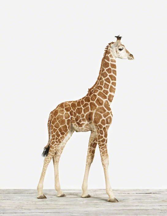 Best Giraffes Images On Pinterest Giraffe Pattern Giraffes - Sporting clay window decalsgiraffe garden statue giraffe clay pot clay pot animal