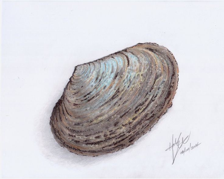 Seashell: pencil, colored pencil and ink