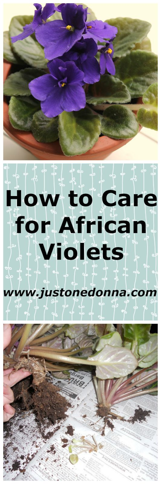 How to Care for African Violets | African violets are an easy houseplant with bursts of color.