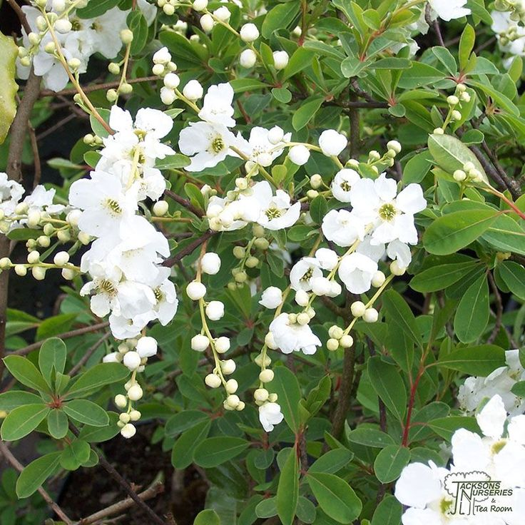 Image result for Exochorda macrantha ´The Bride´