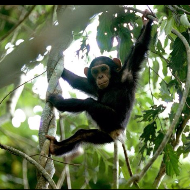 Young Chimpanzee Hanging Around Photograph By Michael