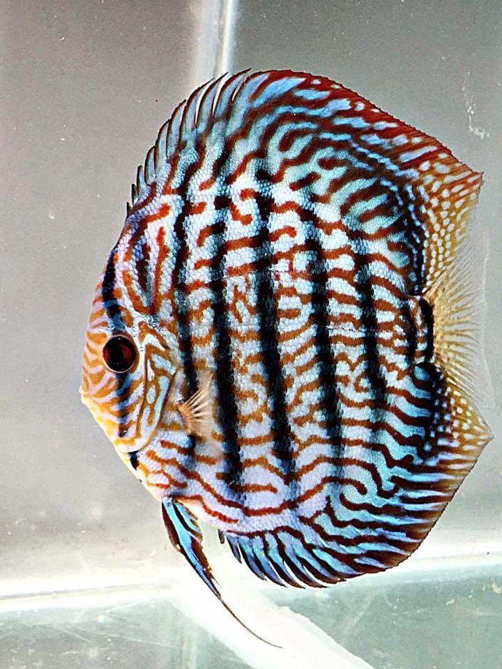 blue turquoise discus Discus fish, Freshwater aquarium